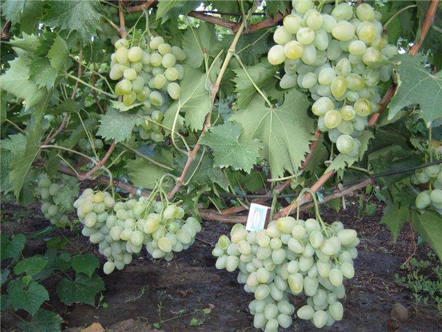 Куст гибридного винограда Монарх, выведенного селекционером-любителем Павловским