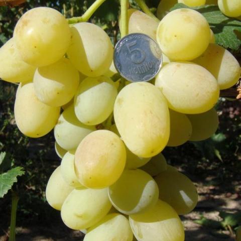 Кисть винограда Монарх с ягодами овальной формы с небольшим сужением в конце