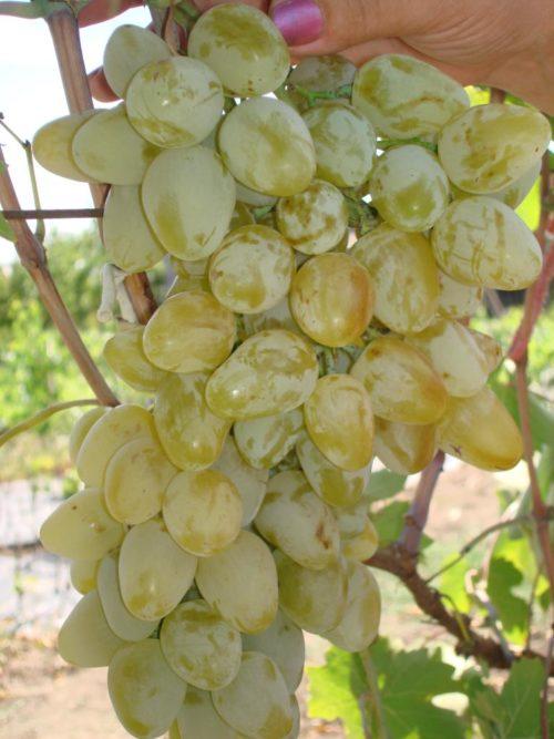 Гроздь винограда сорта Монарх с ягодами желто-янтарного цвета