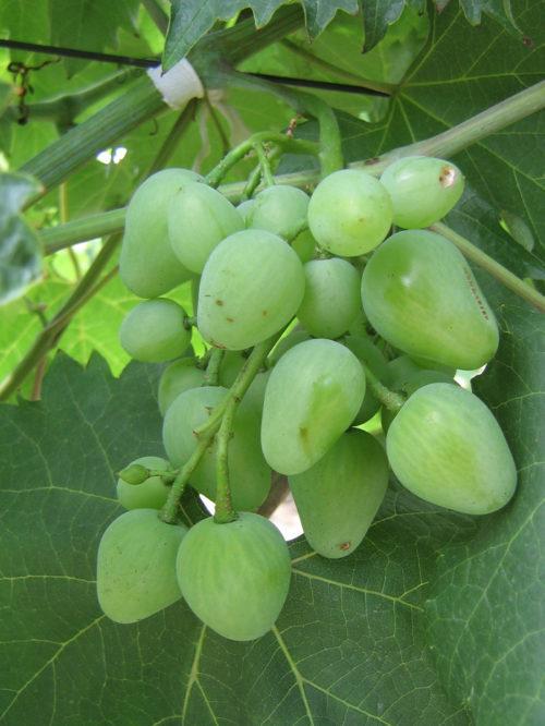 Ягоды зеленоватого оттенка винограда Монарх в начальной стадии созревания