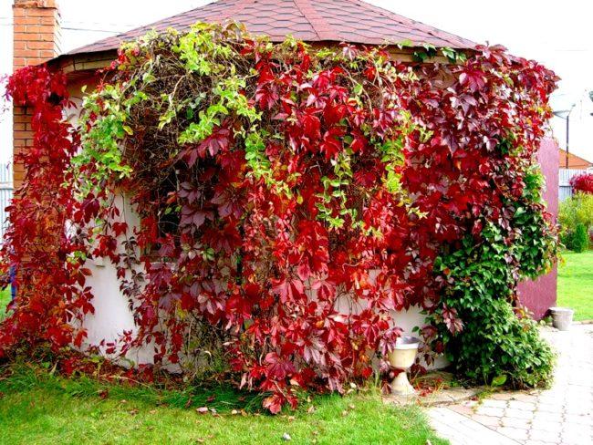 Садовая беседка и лианы амурского винограда с красной листвой