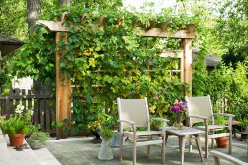 Деревянная пергола с растущим на ней виноградом сорта Черный Восторг