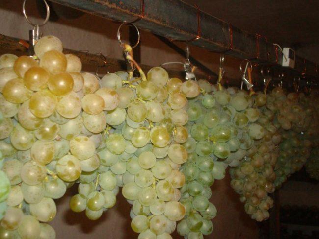 Грозди винограда, подвешенные парами на хранение в полуподвальном помещении