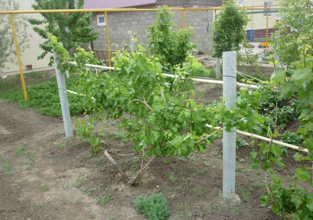 Молодая виноградная ложа на шпалере из металлических труб в частном саду