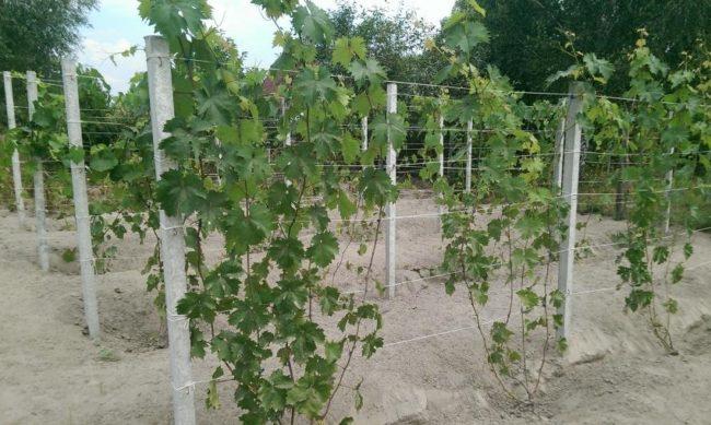 Виноградник с двухлетними кустами и шпалера из проволоки, натянутой между бетонными столбиками