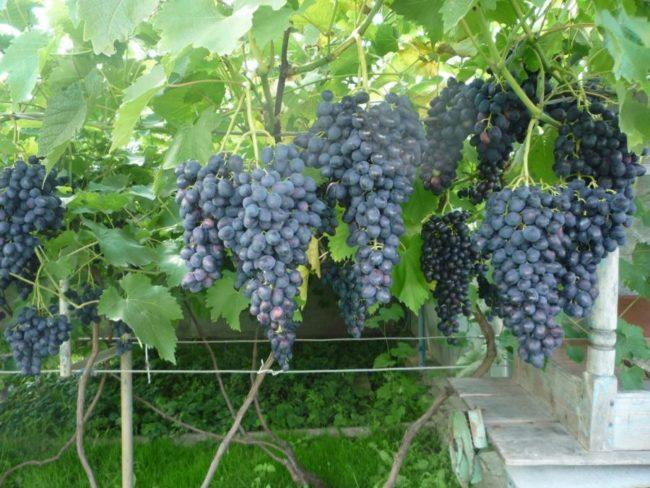 Крупные кисти темного винограда на ветках, подвязанных к проволоке однорядной шпалеры