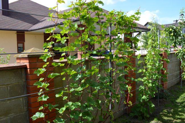 Виноградная лоза на проволочной шпалере высотой 2,5 метра и забор с кирпичными столбами