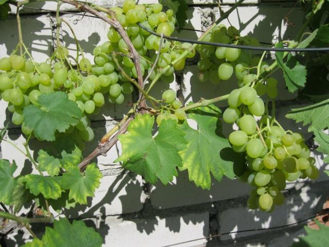 Виноградная лоза с ягодами на стенке из силикатного кирпича с солнечной стороны здания