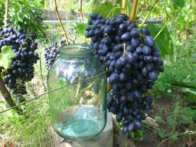 Громадная кисть винограда сорта Надежда Азос и стеклянная трехлитровая банка рядом