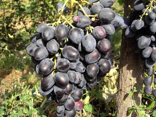 Крупная гроздь спелых ягод винограда с белесым налетом на кожице плодов