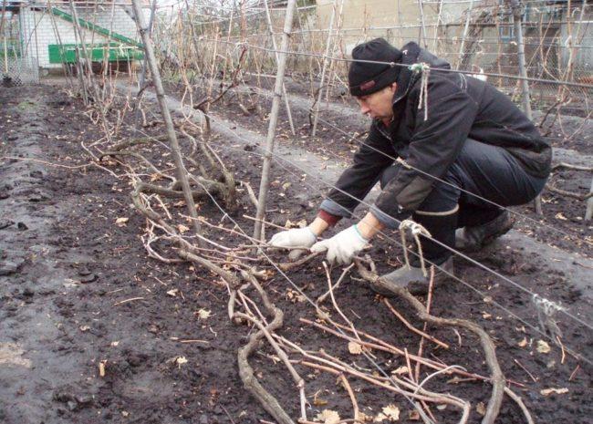 Садовод укладывает ветки винограда на земле, подготовка лозы для зимнего укрытия
