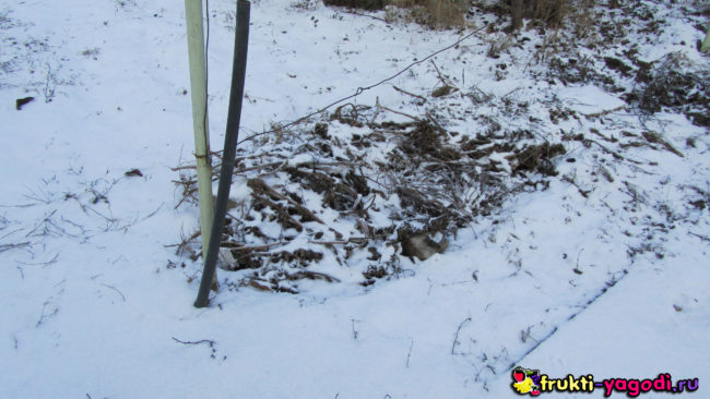 Укрытый виноград перегноем в зимний период немного снега