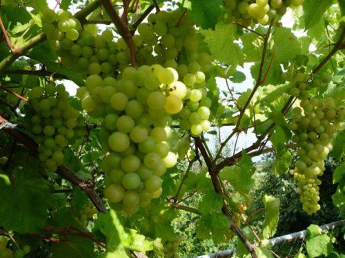 Виноградная лоза технического сорта Платовский с гроздьями ягод зеленоватого оттенка