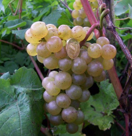 Крупная кисть технического винограда сорта Платовский в период созревания плодов