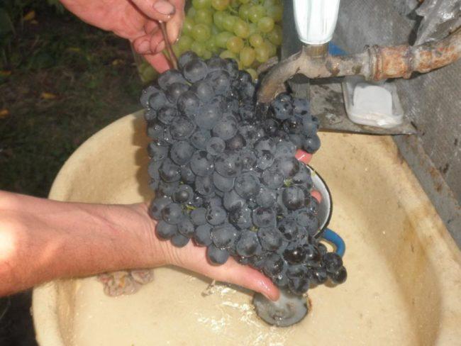 Крупная гроздь винограда Черный Восторг под краном с водой, сорт раннего созревания