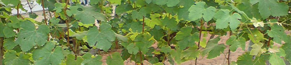 Кусты винограда после обрезки