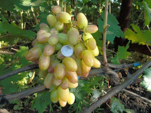 Виноградная кисть с ягодами в начале срока созревания и монетка, сорт новой селекции Преображение