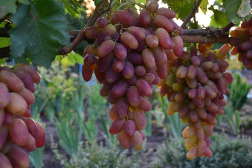 Грозди созревающего винограда с ягодами удлиненной формы на лозе сорта Преображение