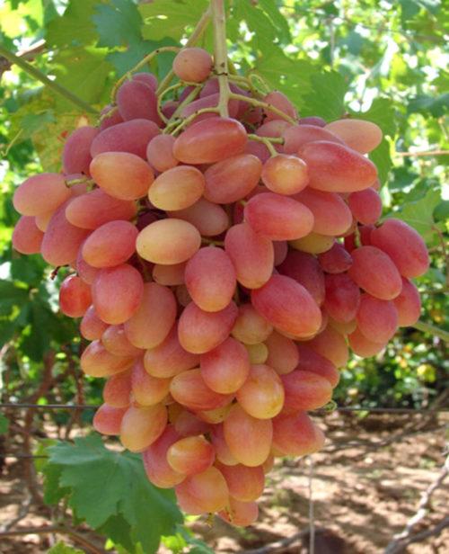 Крупная гроздь столового винограда сорта Преображение