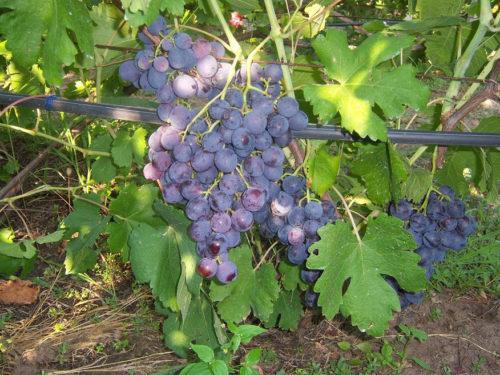 Куст винограда сорта Рошфор на шпалере и грозди с ягодами темно-синего цвета