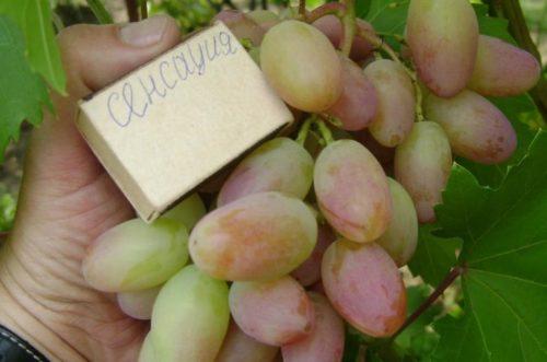 Созревающие плоды винограда гибридной формы Сенсация, выведенного селекционером Капелюшным