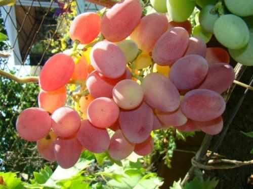 Гроздь спелого винограда гибридного сорта Сенсация с ягодами розово-красноватого оттенка