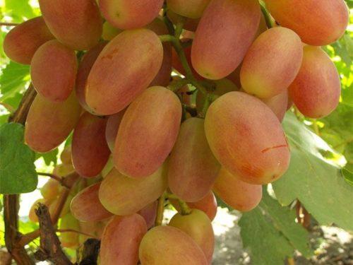 Ягоды винограда Сенсация вблизи: вытянутые плоды с желто-розовой окраской, местами до красного