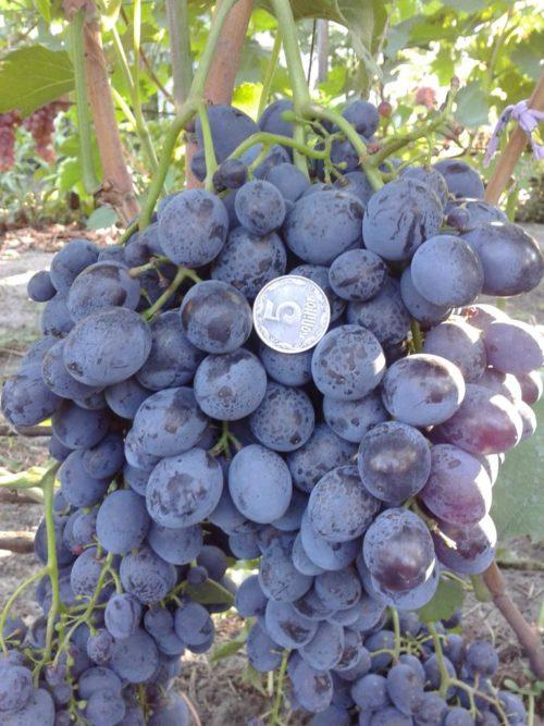 Грозди спелых ягод гибридного винограда сорта Сфинкс и монетка