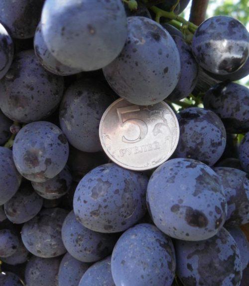 Плоды винограда столового сорта Сфинкс темно-синего цвета с белесым восковым налетом