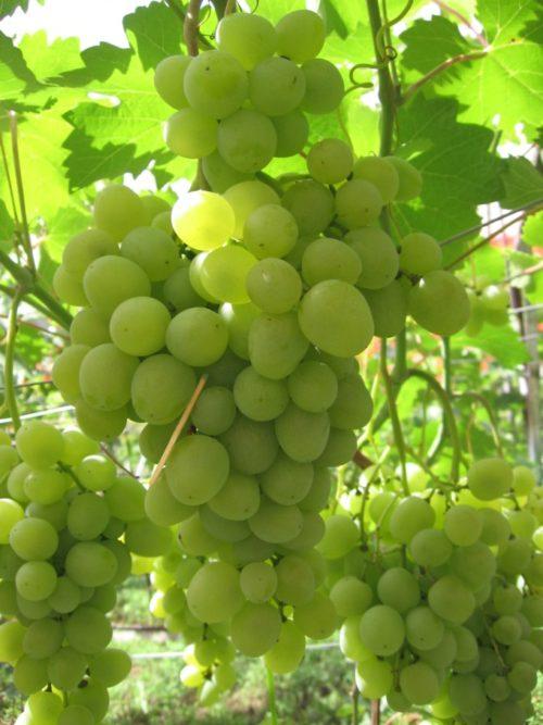 Крупные грозди винограда Супер Экстра массой до полутора килограмм