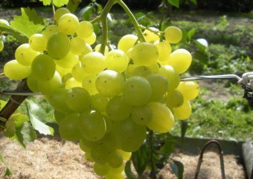 Кисть столового винограда сорта Супер Экстра, плоды светло-зеленого цвета с толстой кожицей