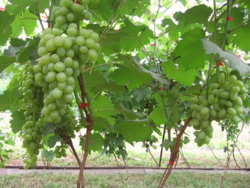 Мощные ветви винограда Супер Экстра и крупные грозди ягод насыщенно зеленого цвета