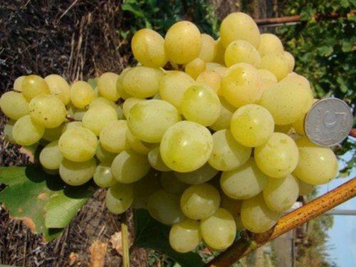 Гроздь спелого винограда столового сорта Супер Экстра