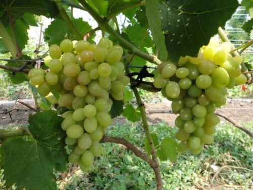 Две крупные грозди винограда сорта Тасон с ягодами в начале плодоношения