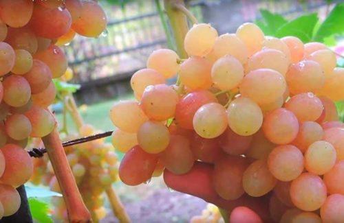 Крупная гроздь столового винограда сорта Тасон с ягодами беловато-розового цвета