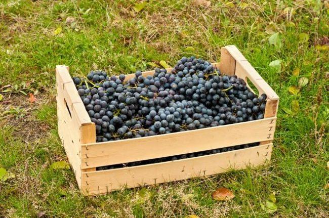 Деревянный ящик средних размеров, наполненный доверху кистями винограда