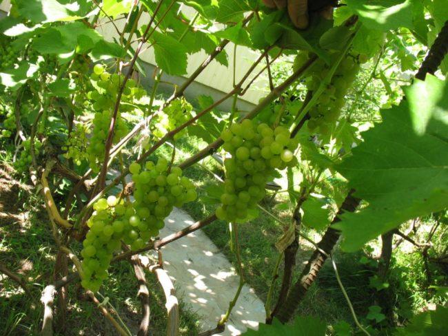 Виноградная лоза сорта технического предназначения Платовский при небольшом затенении