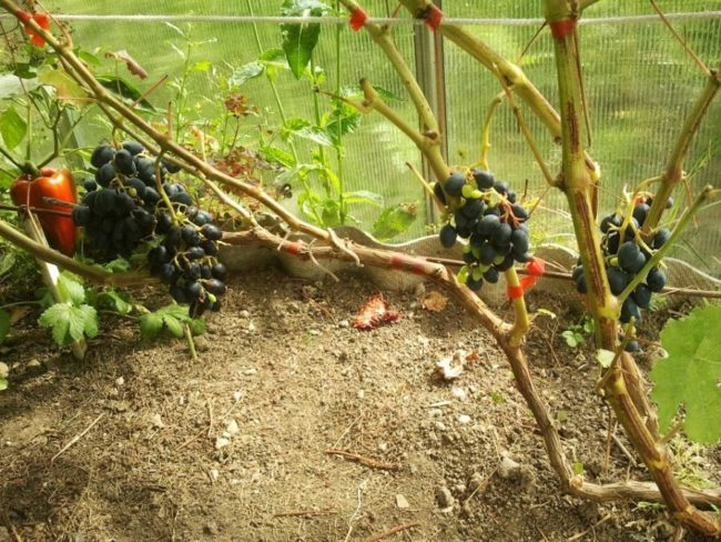 Ветки и грозди винограда Аттика в теплице из поликарбоната с забуткой из шифера