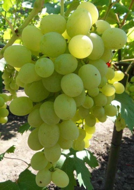 Гроздь винограда сорта Ванюша селекции Крайнова с ягодами овальной формы