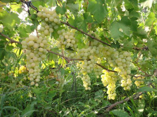 Виноградная лоза гибридной формы Ванюша и крупные кисти с плодами янтарно-желтого цвета
