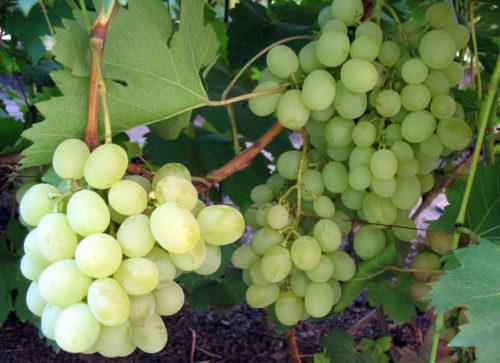 Ветки винограда столового сорта Ванюша и гроздья созревающих плодов