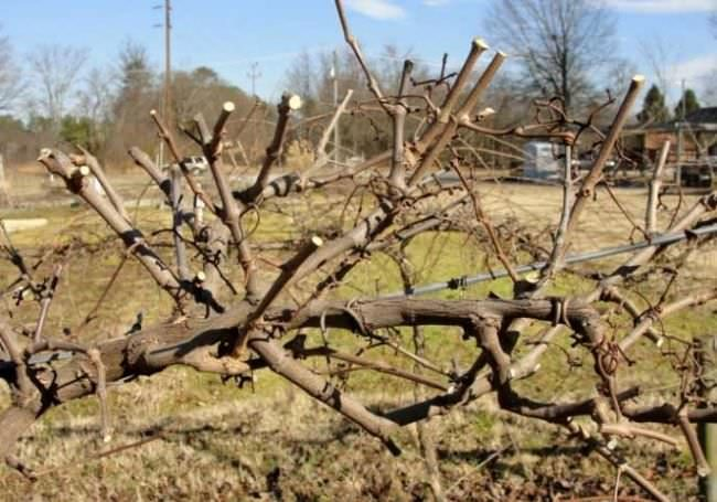 Виноградная лоза после весенней формирующей обрезки молодых стеблей прошлого года