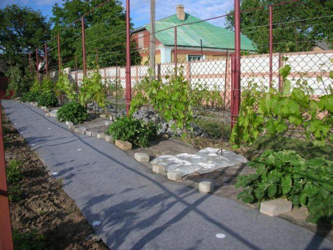 Частный виноградник на садовом участке в весенний период и шпалера из металлических труб