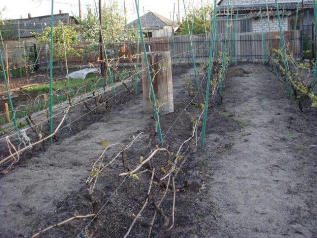 Частный виноградник ранней весной, двухполосные шпалеры и распускающиеся молодые листочки