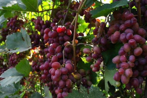 Виноградные кисти на ветках среднеспелого сорта Виктория и листья темно-зеленого окраса
