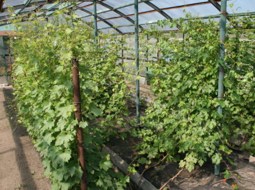 Кусты винограда Виктория на шпалерах в закрытом грунте
