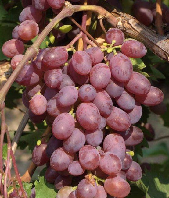 Гроздь винограда Виктория со спелыми ягодами насыщенно малинового цвета