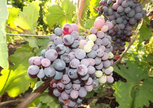 Крупная кисть винограда Черный восторг на крепкой плодоножке