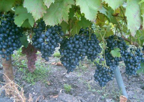 Ветка винограда сорта Черный Восторг и крупные грозди со спелыми ягодами фиолетового цвета