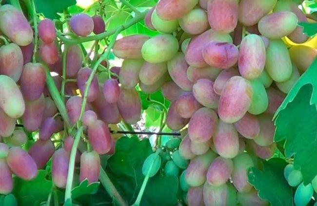 Крупные ягоды на грозди сорта Юлиан